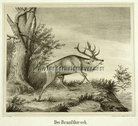 Friedrich Happel, Rutting Stag