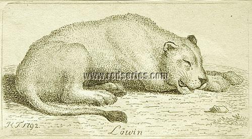 Tischbein, Löwin
