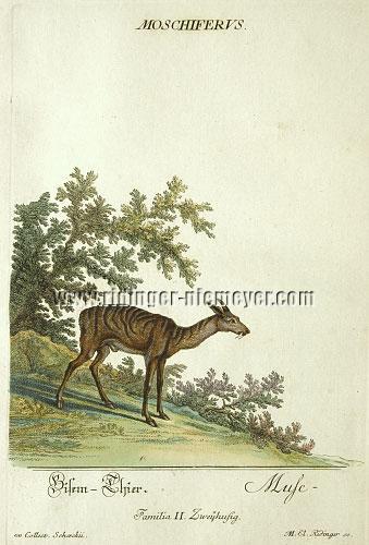 Martin Elias Ridinger, Musk Deer
