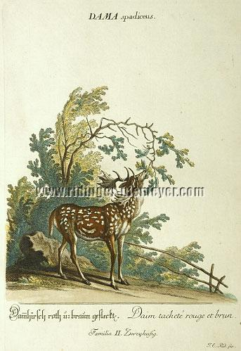 Johann Elias Ridinger, Fallow Deer Spotted Red and Brown