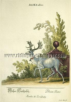 Johann Elias Ridinger, White Fallow Deer