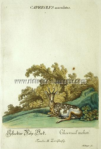 Ridinger, Spotted Roe Buck