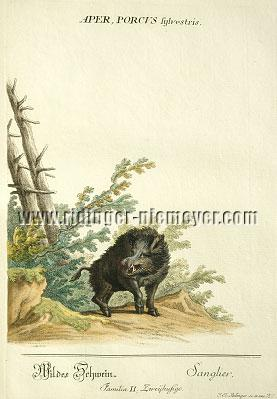 Johann Elias Ridinger, Wild Boar