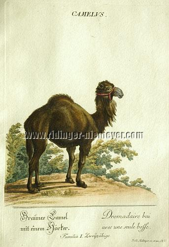 Johann Elias Ridinger, Brown Camel