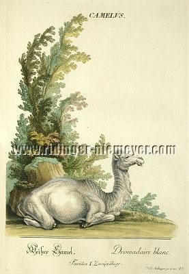 Johann Elias Ridinger, White Camel