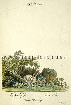 Johann Elias Ridinger, White Hare