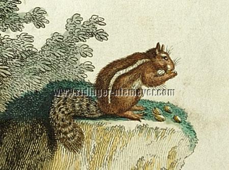 Johann Elias Ridinger, Eastern Chipmunk (detail)