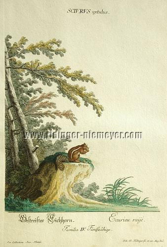 Johann Elias Ridinger, Eastern Chipmunk