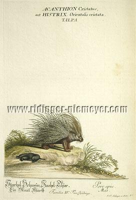 Johann Elias Ridinger, Porcupine. A Mole