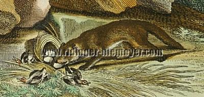 Johann Elias Ridinger, Iltis (Detail)