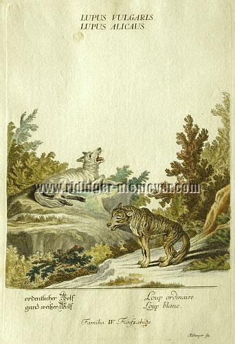 Ridinger, ordentlicher Wolf / weißer Wolf