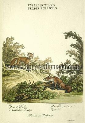Johann Elias Ridinger, Red Fox. Ordinary Fox