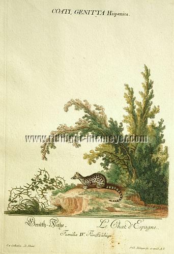 Johann Elias Ridinger, Genet Cat