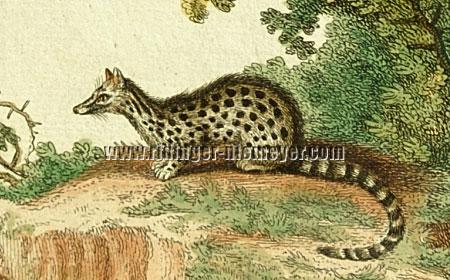 Johann Elias Ridinger, Genet Cat (detail)