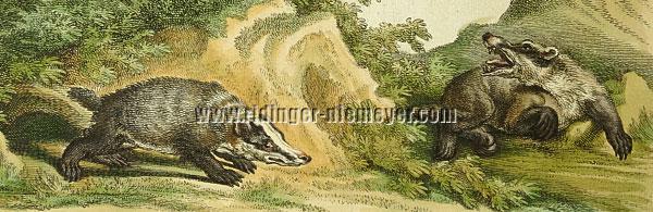 Martin Elias Ridinger, Badgers (detail)
