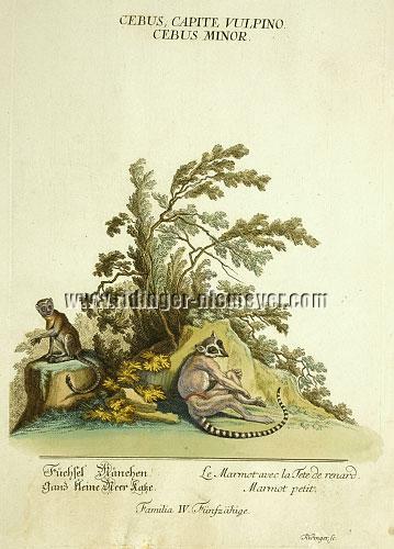 Ridinger, Füchselmännchen (Katzenmaki)