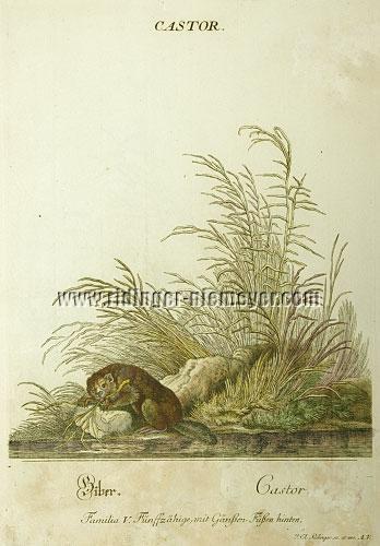 Johann Elias Ridinger, Beaver