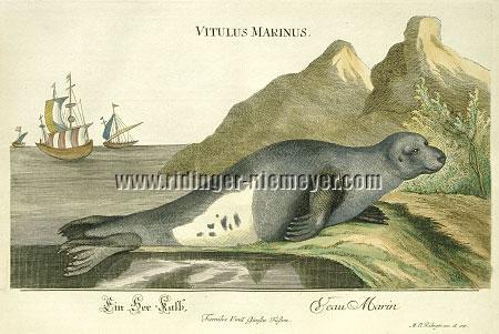 """See=Kalb. Veau marin., (Th.: """"nach der Natur gefertigte gelungene Abbildung [der Mönchsrobbe]""""), in Johann Elias Ridinger's koloriertem Thier-Reich"""