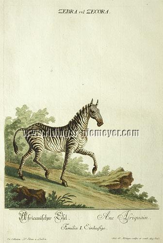 Ridinger, Zebra