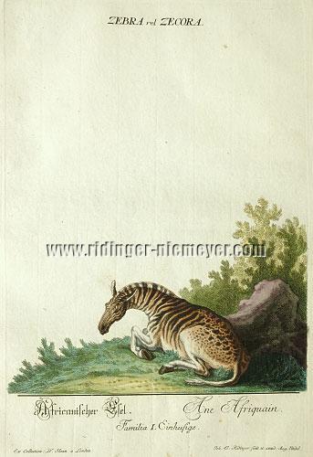 Johann Elias Ridinger, African Donkey (recte Quagga)