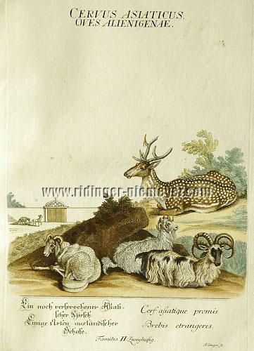 Martin Elias Ridinger, Axis Deer & Some Foreign Sheep