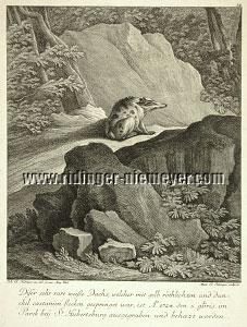 Johann Elias Ridinger, This Very Rare White Badger