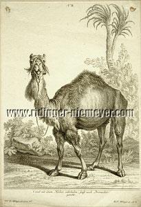 Johann Elias Ridinger, Kamele