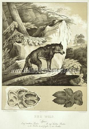 Johann Elias Ridinger, Wolf (Menzler)