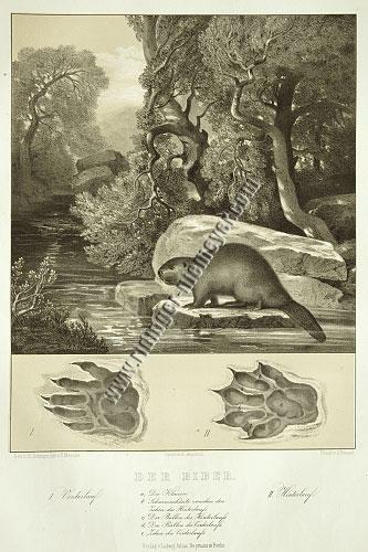 Johann Elias Ridinger, Beaver (Menzler)