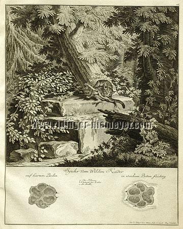 Johann Elias Ridinger, Trace of the Wild Tomcat
