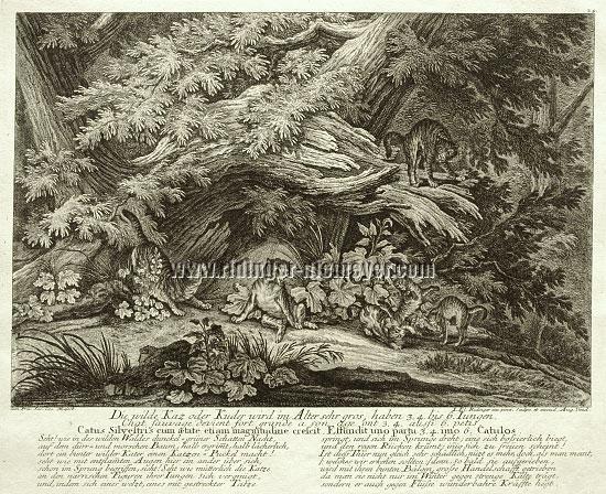 Johann Elias Ridinger, Die wilde Kaz oder Kuder