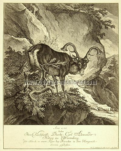 Johann Elias Ridinger, 1728 Carl Alexander of Wurttemberg has shot this Stag at Barackin in the Kingdom of Serbia